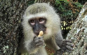 Facts about vervet monkey.